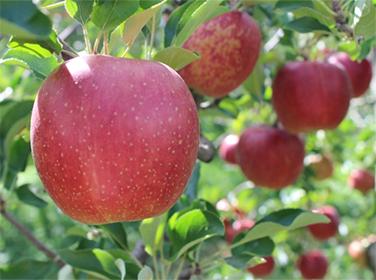リンゴ狩り食べ放題バスツアー「LIVING&SANKEI元気プロジェクト」第2弾