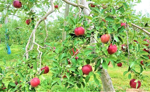 リンゴのき