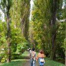 色づく前の北大ポプラ並木