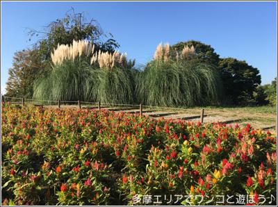 昭和記念公園のパンパスグラス