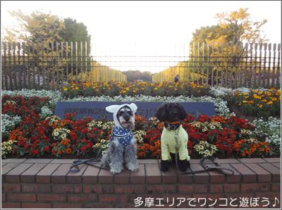昭和記念公園のイチョウ