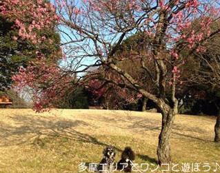 国営 昭和記念公園の梅