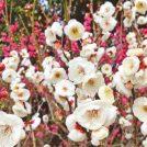 【2018年の梅はここで見る!】神戸明石エリアの梅の名所 6選