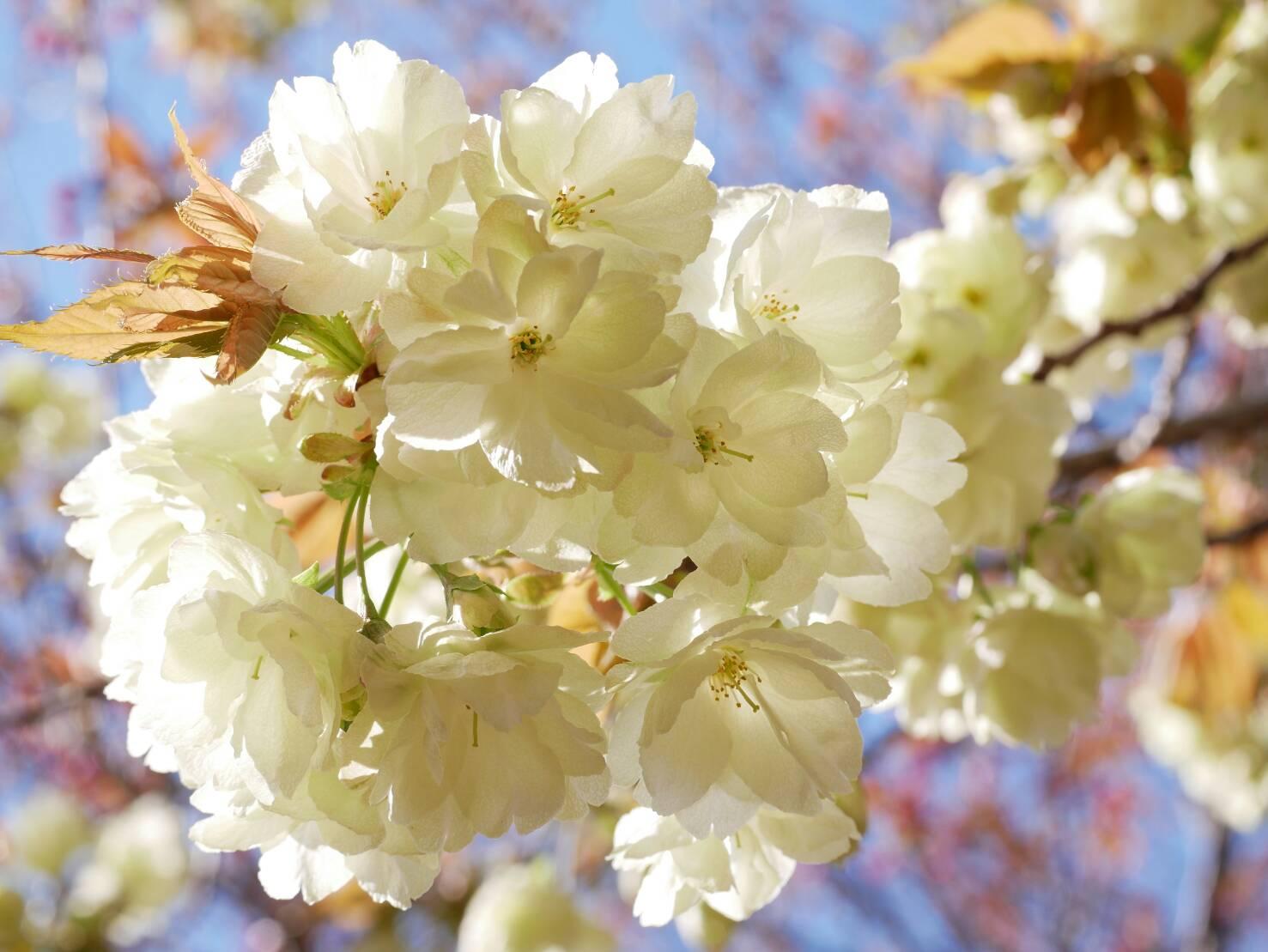 桜咲く!中央線周辺お花見スポット2018版