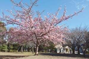 濃いピンク色が美しい河津桜