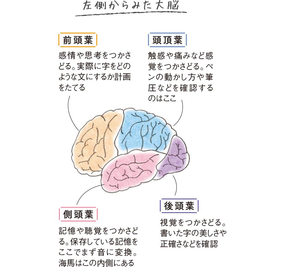 左側からみた大脳