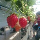 【宮城】【子連れ】甘くて美味しい!真っ赤なイチゴ 亘理でイチゴ狩り!!