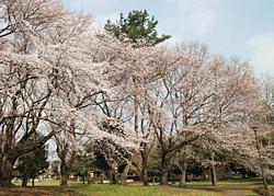 07野川公園桜