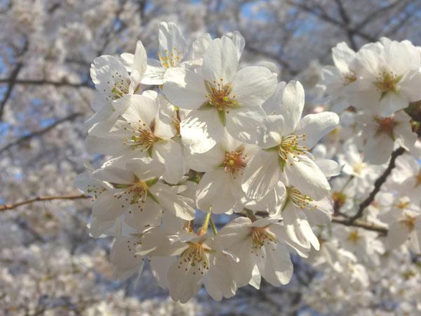 1803_nc_PTA-sakura