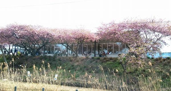 沼からの桜