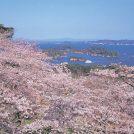 P西行戻しの松公園桜
