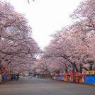 お花見するなら小林牧場!満開の桜を独占するには!?