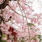 尊鉢厄神釈迦院の桜♪