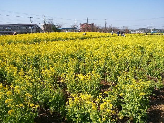 4/8まで!今年も開催「菜の花ガーデン武蔵村山」に行こう!