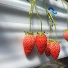 真っ赤なイチゴが食べ放題!桑名東ICより10分「多度グリーンファーム」