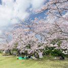 kagoshimasakuras