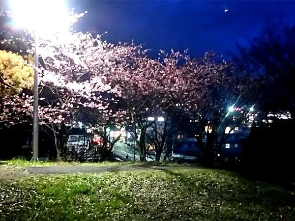 kawatsusakura.0227-4