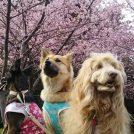 美しい河津桜の満開は3月上旬?! おゆみ野「有吉貝塚公園」