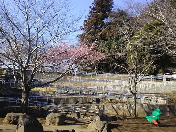 kawatsusakura.0302-1