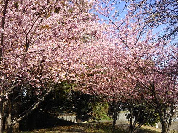 kawatsusakura.0302-4.