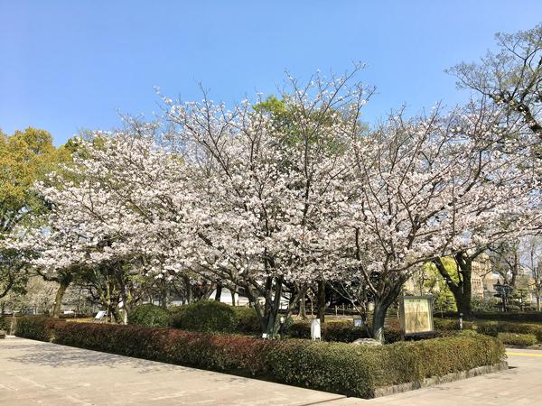kgtoshokan_sakura2