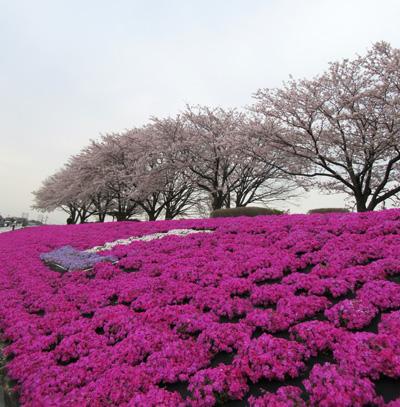 mac_sagamigawashibazakura