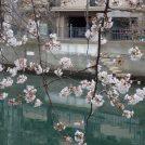 【横浜】お花見に行こう「大岡川桜まつり」