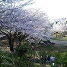 満開の桜満喫!【おゆみ野】さくら公園~春の道~はるのみち公園