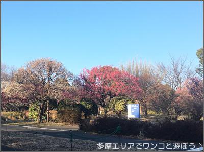 昭和記念公園の梅2018年