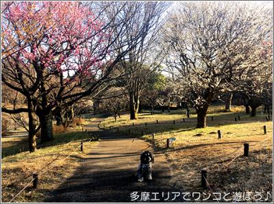 昭和記念公園の梅とワンコ