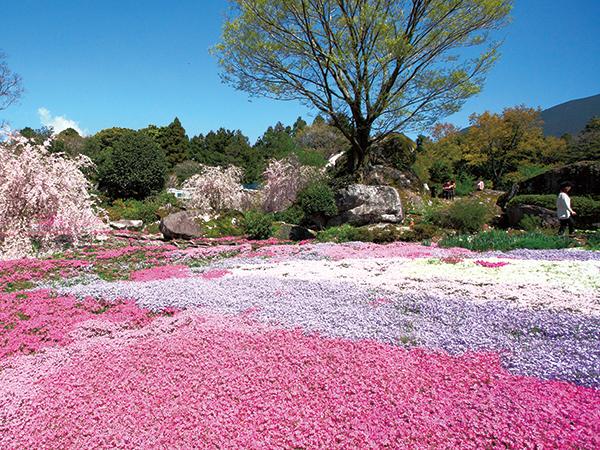 180407-09shibazakura-yamamotoR