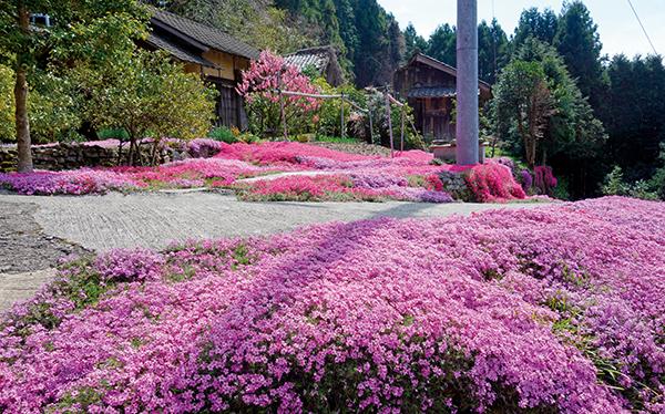 180407-11shibazakura-hizuchiR