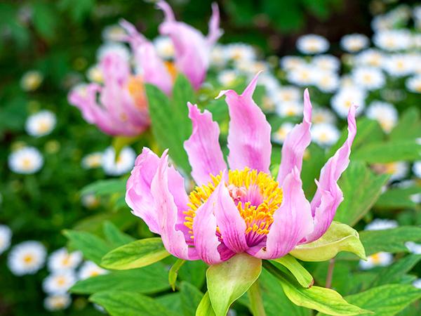 まるで花園!春の花が咲き誇る浄明院の牡丹まつり@松山市別府町