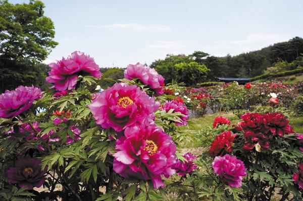 P花と泉の公園ぼたん園②(1280x851) (1024x681)
