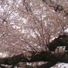 創業130年無添加の味「郡山餅屋」【太白区】と仙台市の「お花見」桜の名所 総まとめ