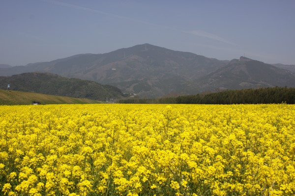 黄色の絨毯をご堪能あれ!【大洲市五郎の菜の花畑】@大洲市五郎河川敷