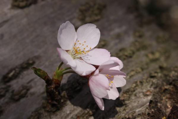 絶景に映える桜の海!【肱川あらし展望公園】@大洲市長浜町