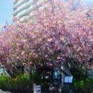 札幌「さくら庭」の八重桜は必見です!