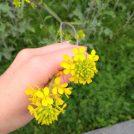 菜の花シーズン