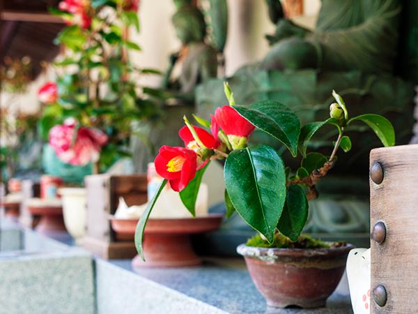 椿の盆栽-P2210522