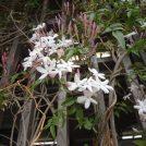 【千歳烏山】GWの世田谷で見てね!いい香り漂うジャスミン名所