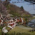 約3200本もの桜を体感! 花吹雪…葉桜近し@長柄ダム周辺