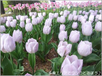 昭和記念公園のチューリップ
