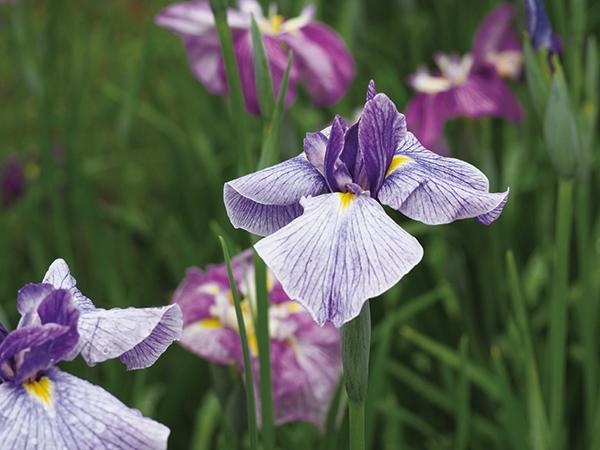 青い花&紫陽花を探しに出かけよう