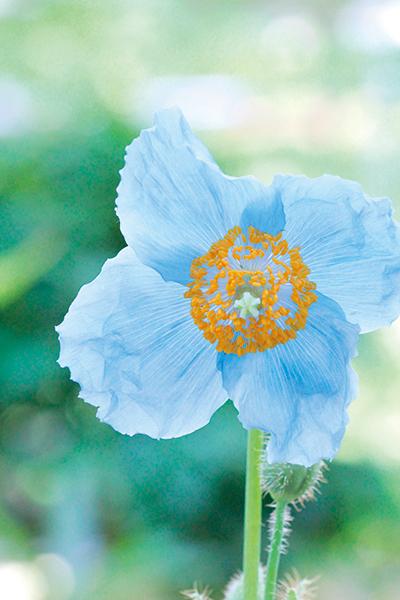 神秘的なブルーの世界へ「青い花に魅せられる」