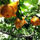 【東松山】秋の味覚、梨狩り体験♪台風で梨狩り終了…直売所はやってるよ!