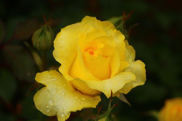 今がシーズン!薔薇を観に柏の葉公園へ行ってみよう!
