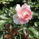 都筑区のバラ「ローザ・つづきく」今が見頃です♪@都筑中央公園