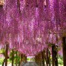 大三島の藤棚は日本一!満開の藤の道を歩いてみた@今治市大三島