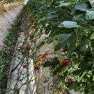 トマト狩りへ行こう! 井出トマト農園